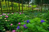 三室戸寺与楽苑の紫陽花