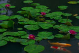勧修寺 氷室池の睡蓮と錦鯉