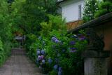大豊神社 参道の紫陽花