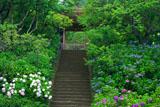東慶寺 アジサイと山門