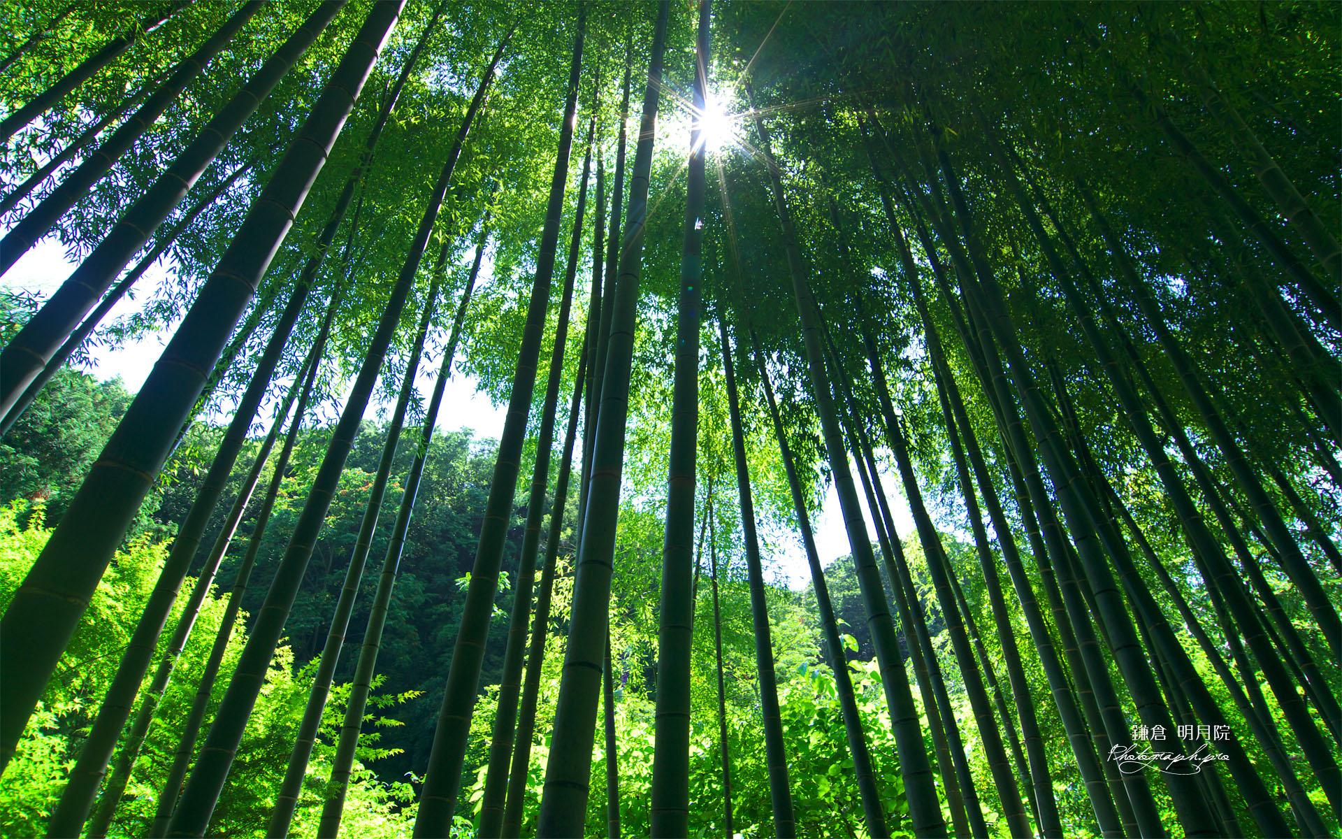 明月院の竹林 の壁紙 19x10