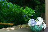 明月院の鉢挿しの紫陽花