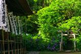 杉本寺 社とアジサイ