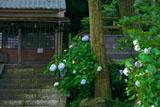 五所神社 紫陽花と神輿庫
