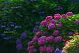 二階堂横大路の紫陽花