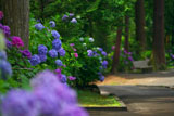 円覚寺の紫陽花