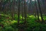 京北 芹生の北山杉林