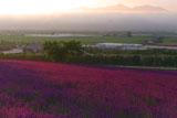 ファーム富田 朝陽に耀くラベンダー