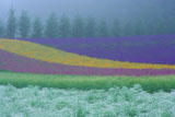 ファーム富田 霧の彩の畑