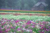 ファーム富田 霧の花人の畑