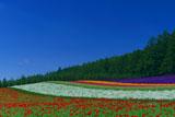 ファーム富田 快晴の彩の畑
