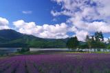 かなやま湖 夏空とラベンダー畑
