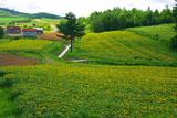 ひまわり畑と小屋