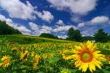 富良野の夏空のひまわり