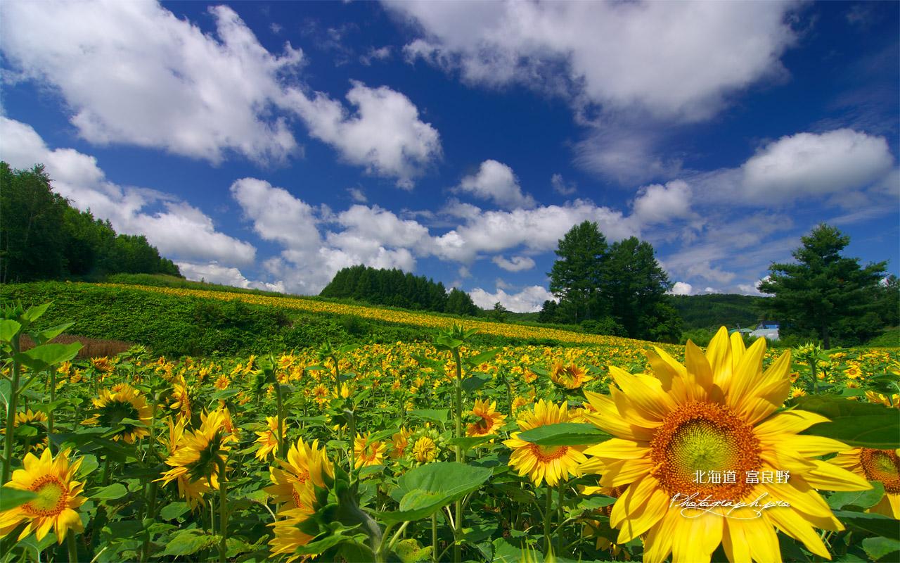 富良野の夏空のひまわり の壁紙 1280x800