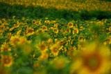 富良野のヒマワリ畑
