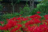 鎌倉英勝寺のヒガンバナ