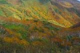 知床峠のダケカンバの黄葉