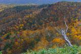 知床峠のクマザサと紅葉