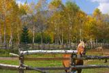 白樺の黄葉と馬