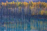 美瑛の青い池のカラマツの黄葉