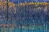 美瑛の青い池の立ち枯れと紅葉の落葉松