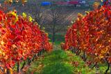 葡萄畑の畝