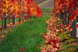 ぶどう畑の紅葉