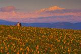 ひまわり畑と旭岳