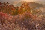 朝陽に耀くハスカップ園
