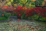 龍安寺 残柿と紅葉の鏡容池
