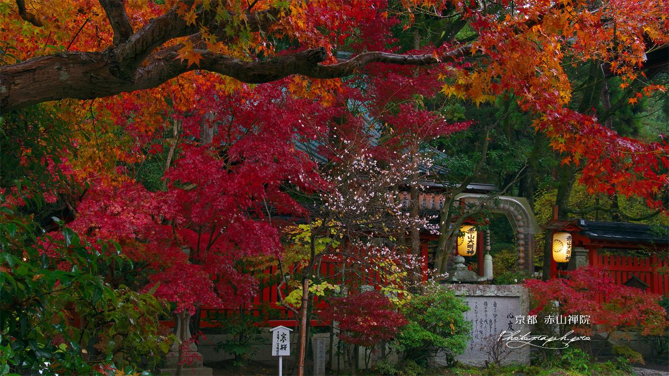 赤山禅院の寒桜と紅葉 壁紙