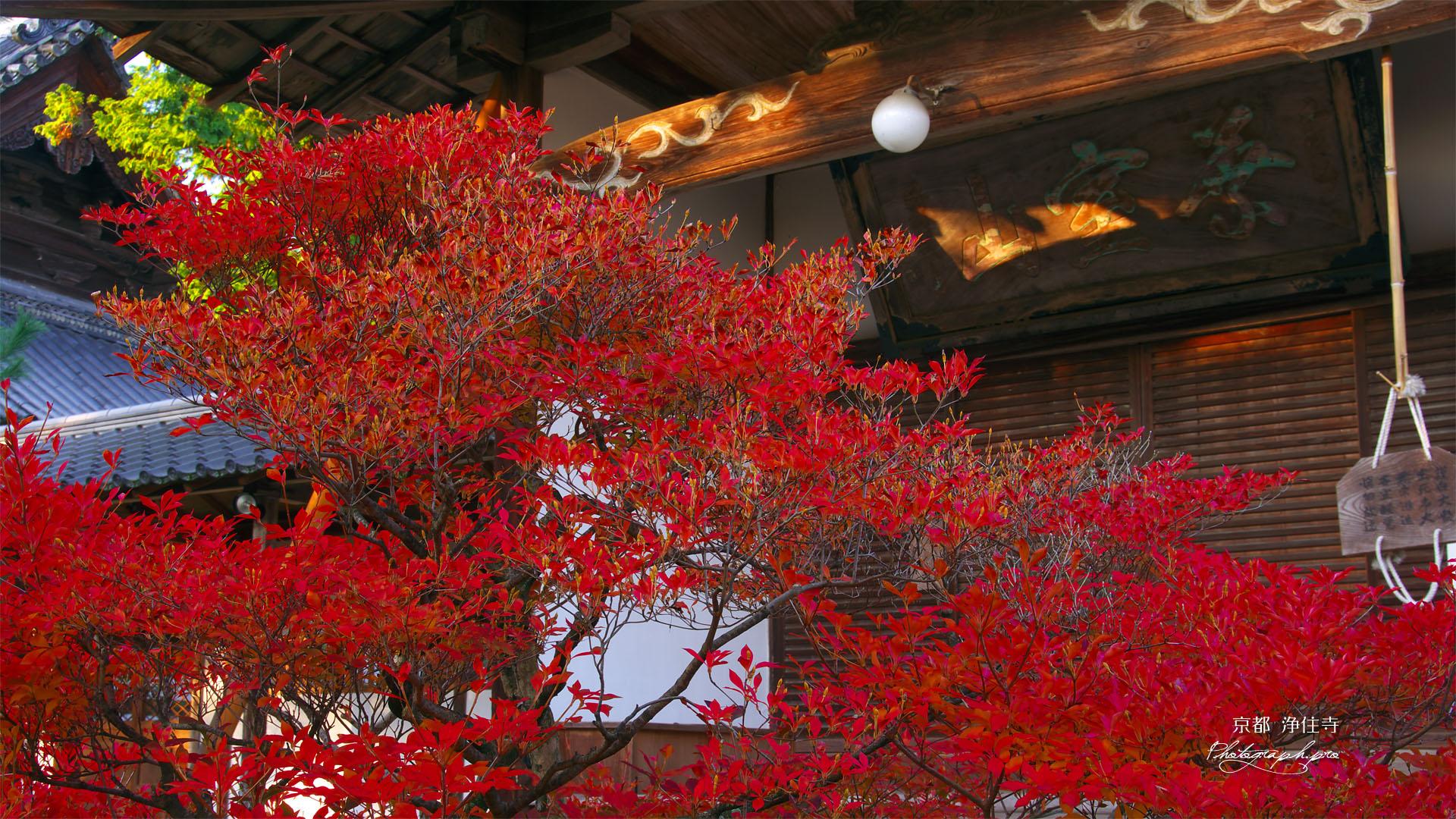 京都浄住寺のドウダンツツジ