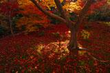 宝筐院 庭園の散り紅葉