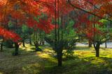 龍安寺 北山台杉と紅葉