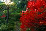 大徳寺高桐院のドウダンツツジ