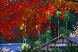 紅葉と明月院庫裏
