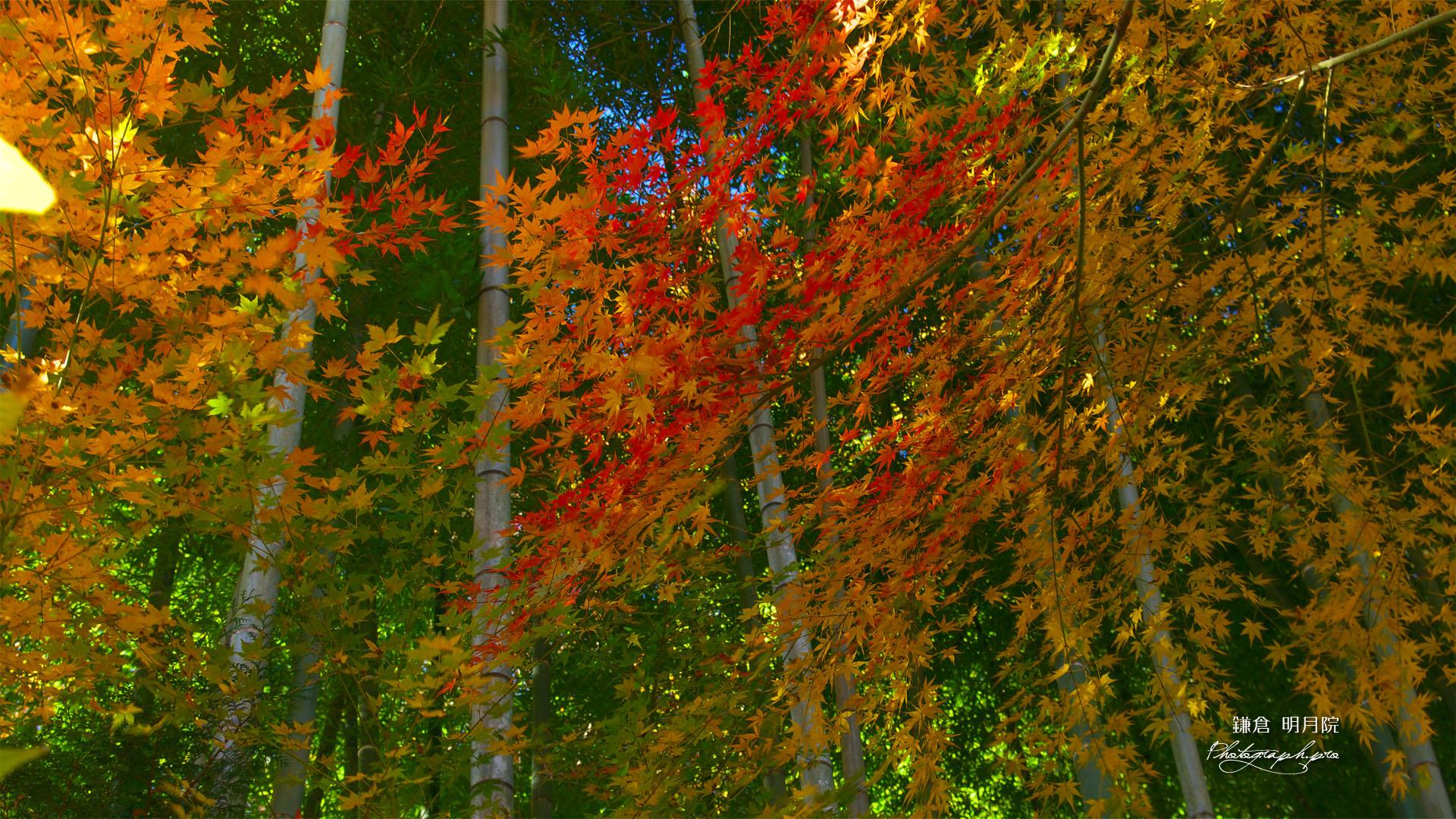 紅葉と竹林 の壁紙 19x1080