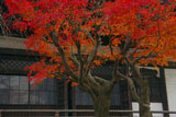 鎌倉本覚寺 紅葉と本堂