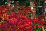 鎌倉浄光明寺 紅葉と鐘楼