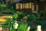 瑞泉寺庭園のスイセン