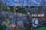 光則寺の蝋梅と白梅