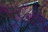 鎌倉光則寺の紅梅と本堂越屋根