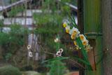 明月院の水仙と白梅
