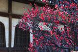鎌倉本覚寺 紅梅と分骨堂火灯窓