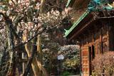 鎌倉英勝寺の白梅