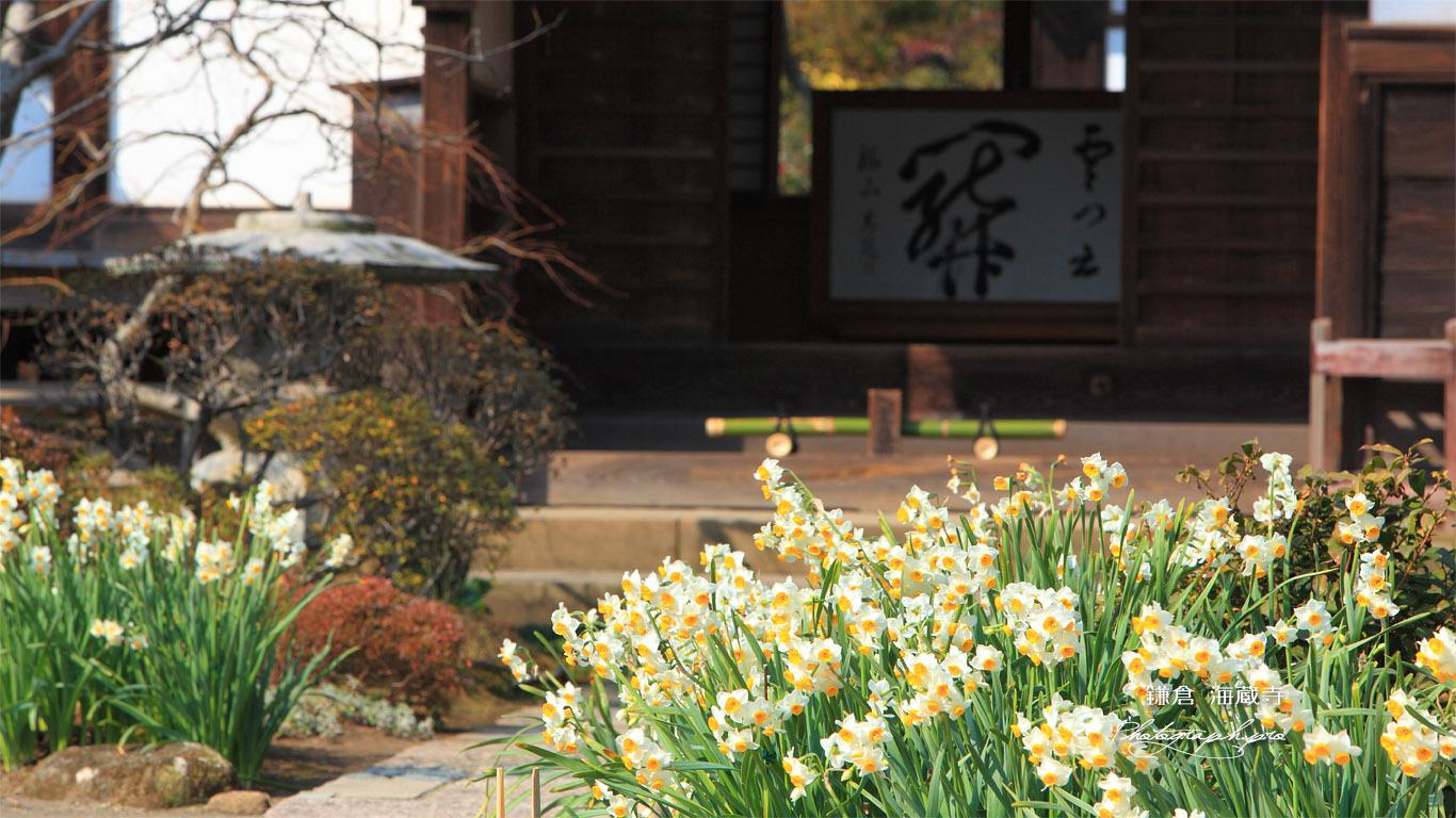 海蔵寺 スイセン 壁紙