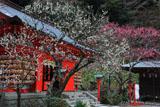 荏柄天神社の青軸白梅