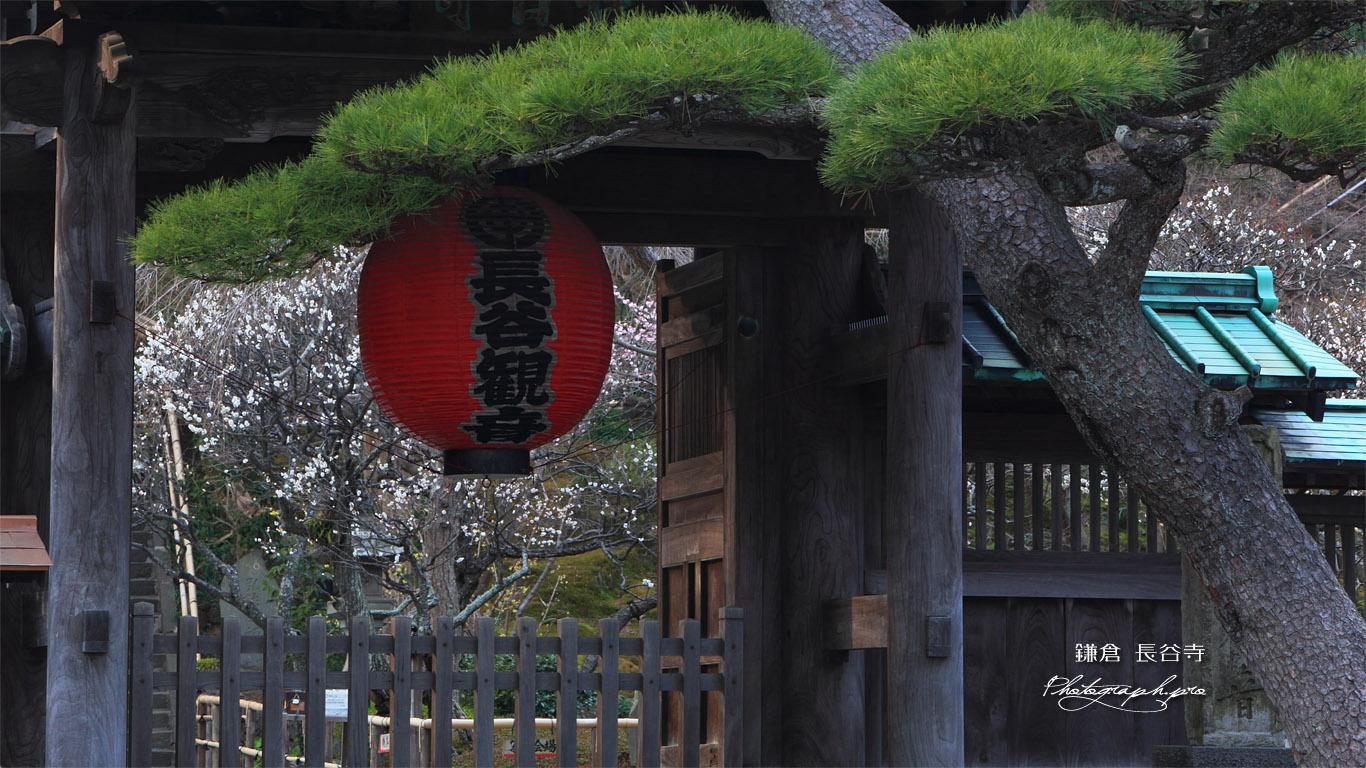 鎌倉長谷寺総門越しの白梅 壁紙