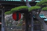 鎌倉長谷寺総門越しの白梅